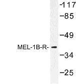 GTX31055 - Melatonin Receptor 1B