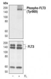 GTX36299 - CD135 / FLT3