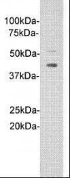 GTX37495 - IL1RL1 / ST2