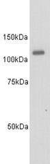 GTX37505 - CD135 / FLT3