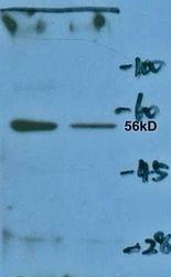 GTX37704 - Erythropoietin receptor