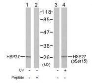 GTX38674 - HSPB1 / HSP27