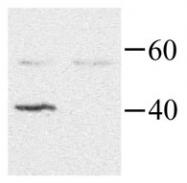 GTX40392 - G protein alpha Inhibitor 2