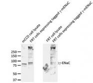 GTX41972 - ENAC gamma / SCNN1G