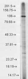 GTX42022 - TRPC7 / TRP7