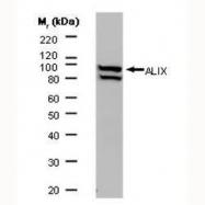 GTX42812 - ALIX / PDCD6IP