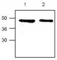 GTX44448 - CYR61