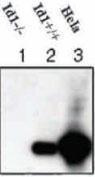 GTX44599 - ID1 / BHLHB24