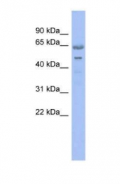 GTX44809 - Nucleostemin
