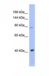 GTX44811 - EIF2C3 / AGO3
