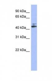 GTX44873 - CYP20A1