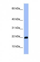 GTX45044 - Olfactory marker protein