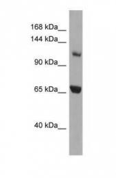 GTX45049 - Myosin-Ie