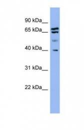 GTX45052 - Endophilin-A1