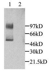 GTX45091 - Fractalkine / CX3CL1