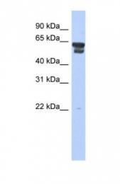 GTX45110 - Bleomycin hydrolase