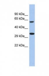 GTX45114 - CALHM3 / FAM26A