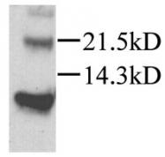 GTX45117 - CXCL12 / SDF1