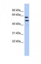 GTX45148 - CXorf67