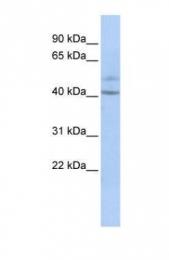 GTX45157 - Speriolin / SPATC1
