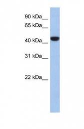 GTX45199 - C2orf53