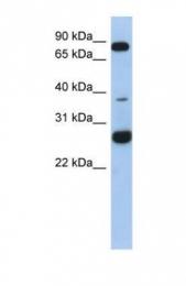 GTX45201 - C1orf110