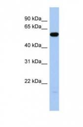 GTX45206 - ILDR1