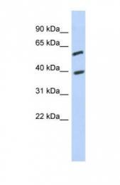GTX45235 - C6orf146