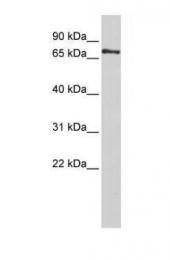 GTX45287 - PHACTR1