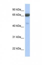 GTX45356 - PNMA3 / MA3