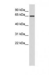 GTX45442 - Anti-Muellerian Hormone / AMH