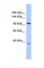 GTX45494 - AP2 complex subunit beta-1