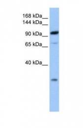 GTX45495 - AP2 complex subunit beta-1