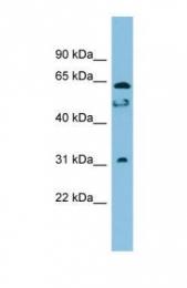 GTX45507 - C20orf132