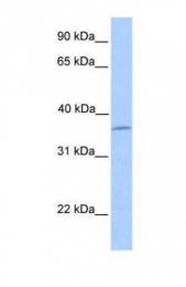 GTX45539 - Layilin