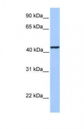 GTX45552 - Kinesin light chain 3