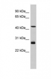 GTX45560 - Synaptotagmin-9