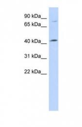 GTX45637 - C1orf177