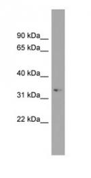 GTX45703 - ARL13B / ARL2L1