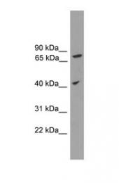 GTX45727 - SPPL3