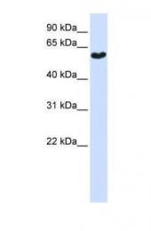 GTX45928 - Synaptotagmin-3