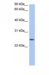 GTX45964 - Neurensin 2