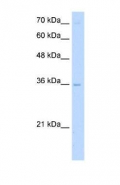 GTX46106 - DNA primase large subunit