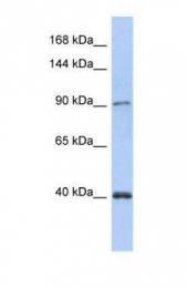 GTX46190 - DNA polymerase kappa