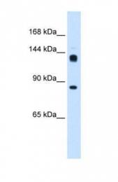 GTX46287 - Protein hunchback