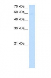 GTX46290 - Nephronectin