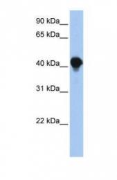 GTX46341 - PTPLAD1 / BIND1