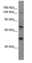 GTX46379 - Astrotactin-2