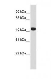 GTX46416 - HS3ST3B1 / 3OST3B1