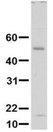 GTX46446 - Ninjurin-1